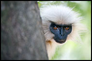 India - Golden Langur